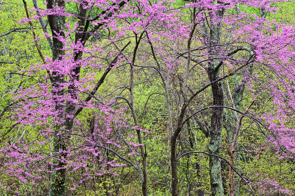 Eastern Redbud, North America, Shenandoah National Park, USA, United States, VA, Virginia, bud, green, pink, plant, spring, tree, photo