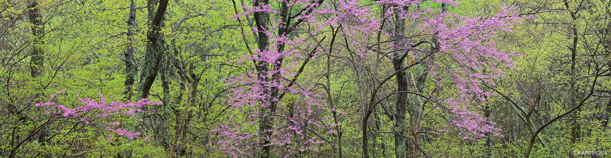 eastern redbud, Shenandoah National Park, Shenandoah, Virginia, panorama, photo