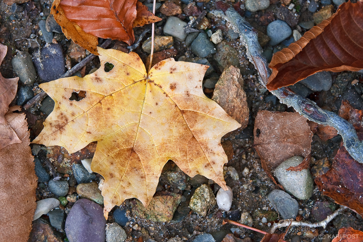 NJ, New Jersey, North America, Norway Maple, Sugar Maple, USA, United States, Wawayanda State Park, autumn, close-up, dead, death, fall, leaf, macro, maple, plant, tree, yellow, photo