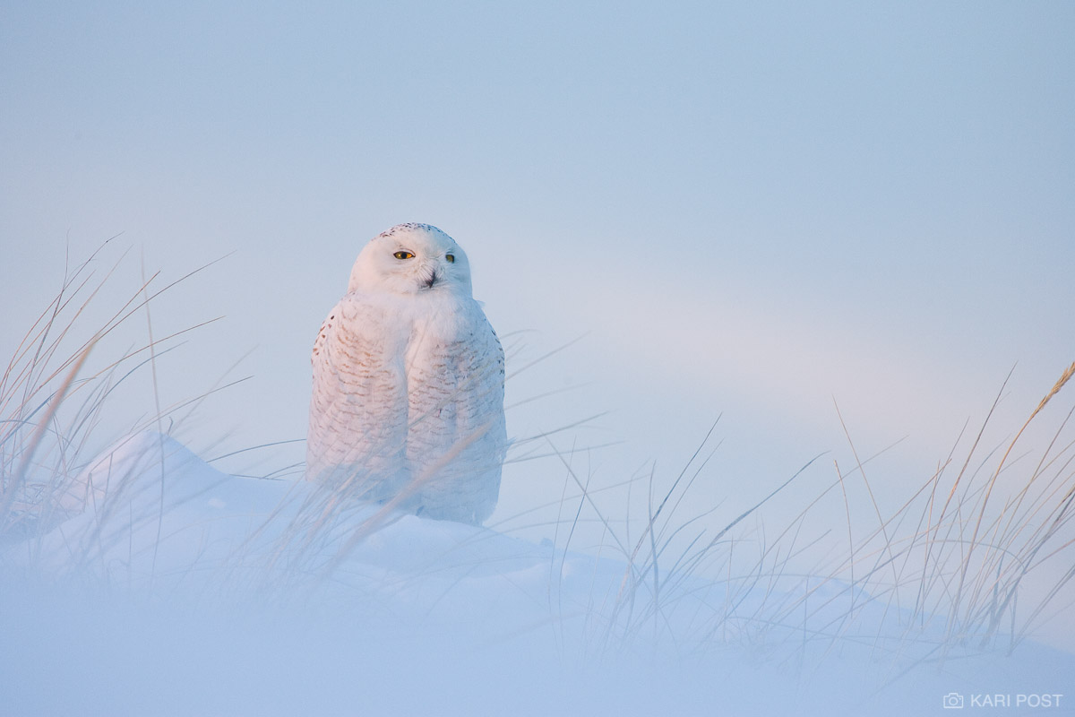 MA, Massachusetts, New England, North America, Nyctea scandiaca, Salisbury Beach State Reservation, Snowy Owl, USA, United States, avian, bird, bird of prey, owl, pastel, raptor, sand dune, snow, suns, photo