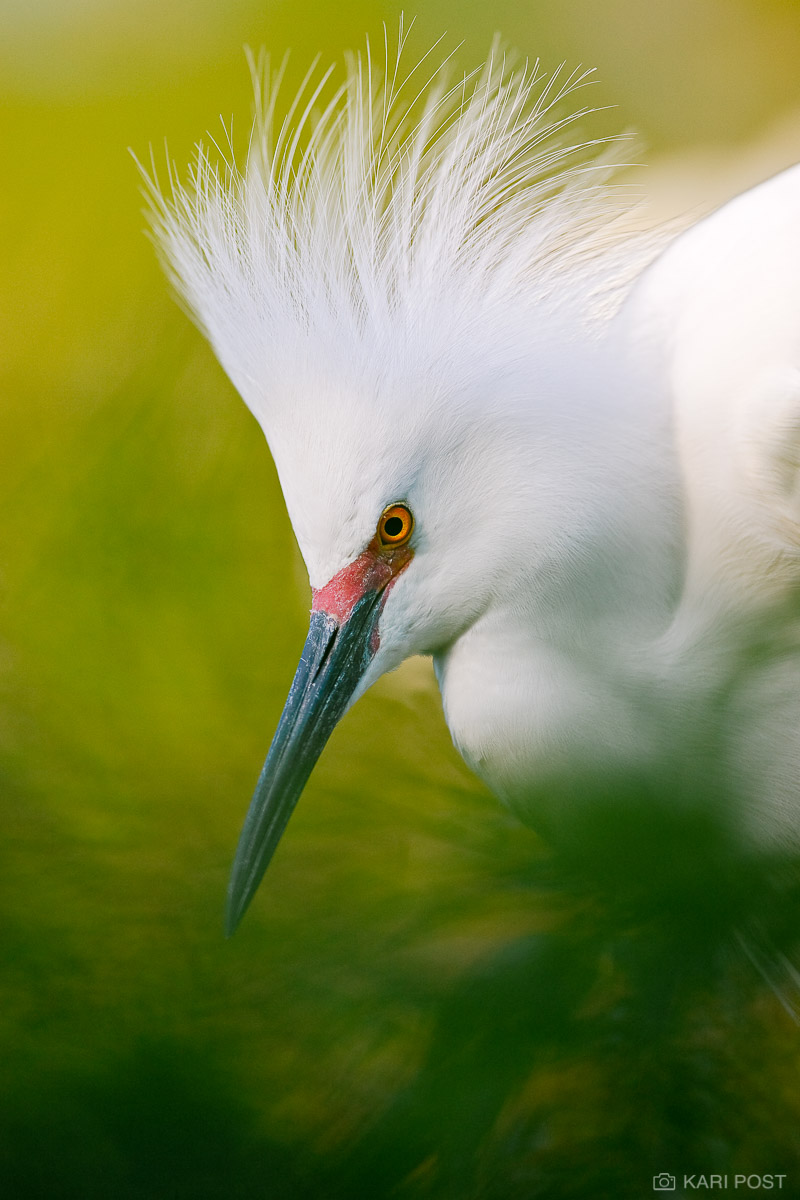 Egret, FL, Florida, North America, Snowy Egret, Southeast, St. Augustine, St. Augustine Alligator Farm, USA, United States, avian, bird, wader, wading bird, wildlife, photo