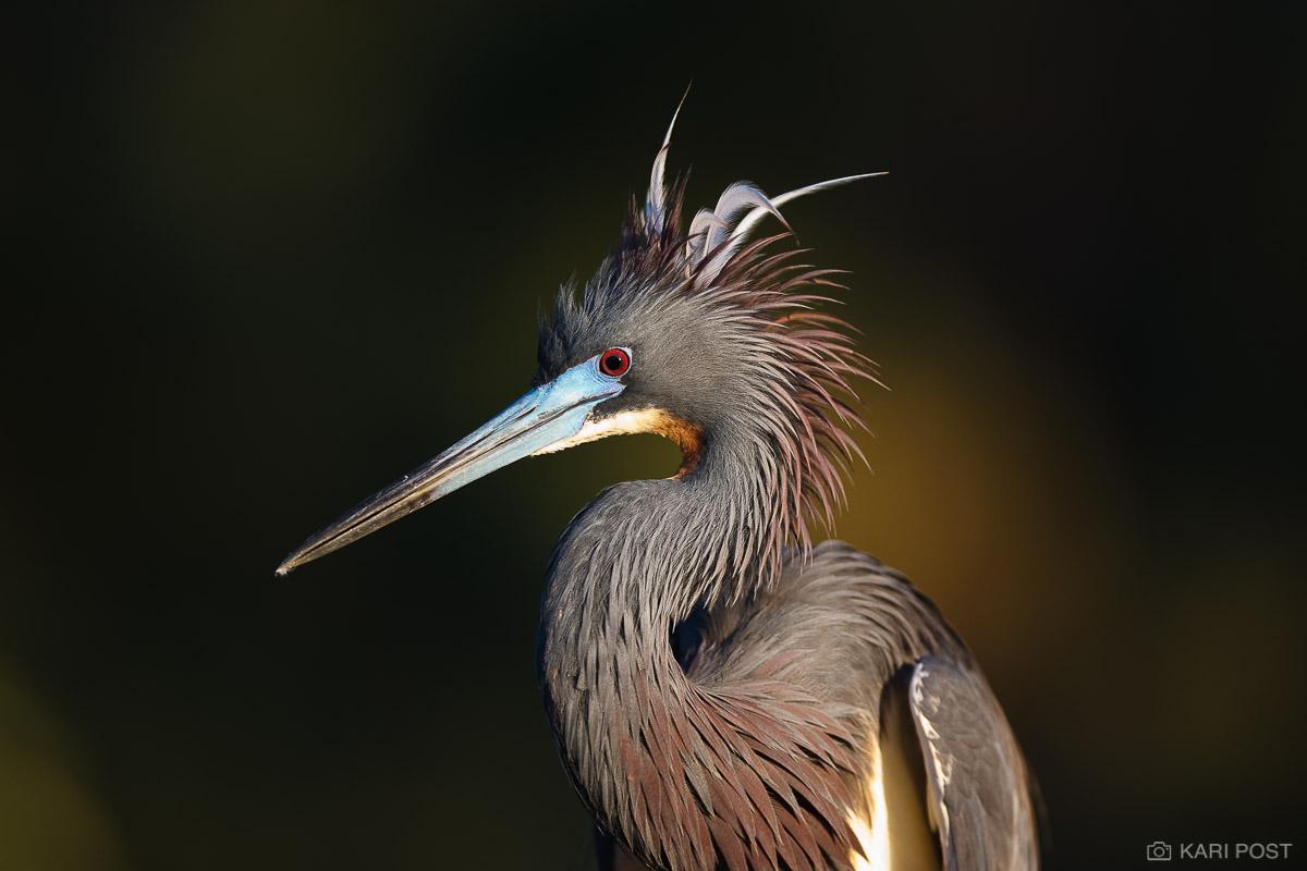 Egretta tricolor, FL, Florida, North America, Southeast, St. Augustine, St. Augustine Alligator Farm, Tricolored Heron, USA, United States, avian, bird, wader, wading bird, photo