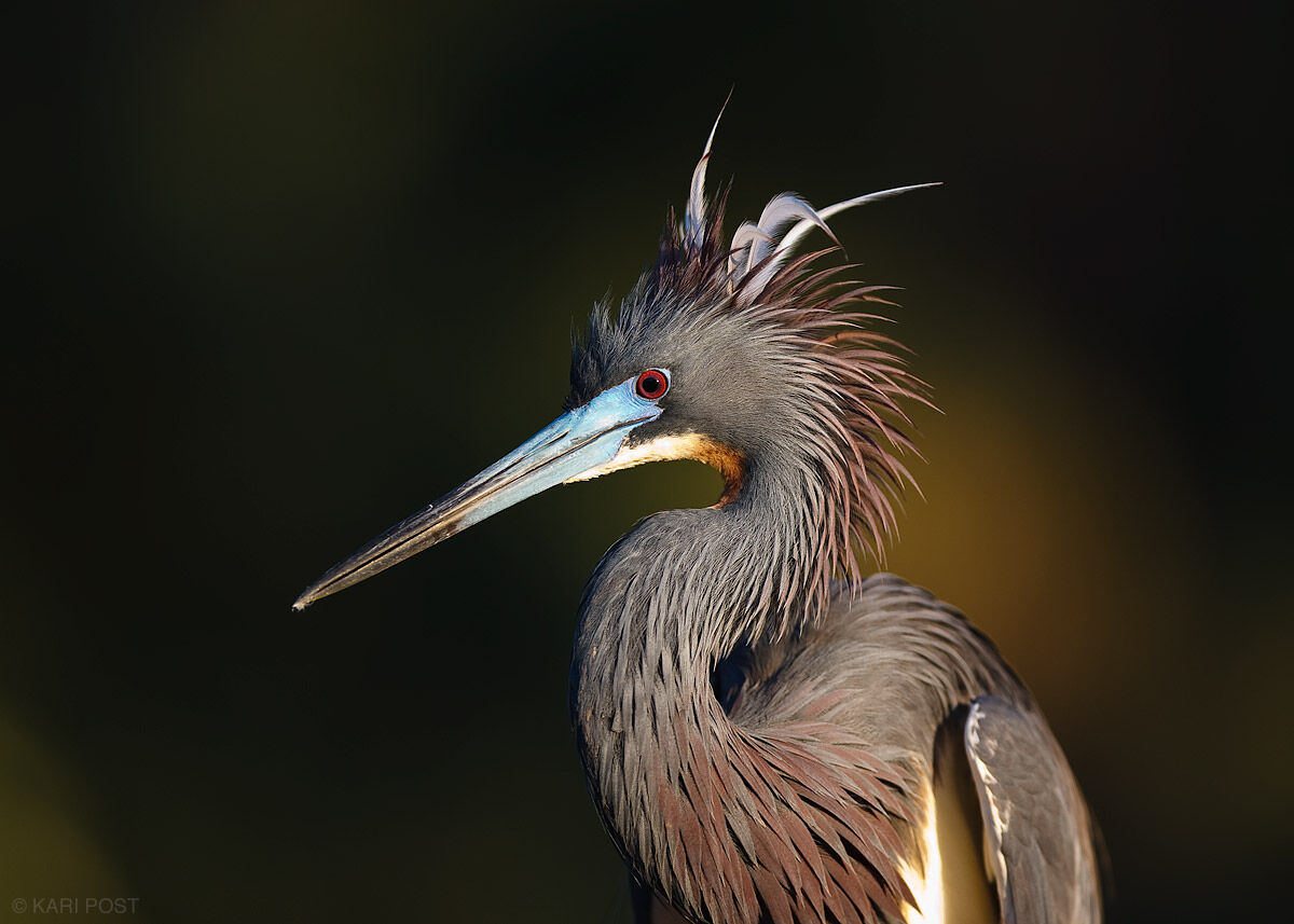 tricolored heron, heron, portrait, st. augustine alligator farm, alligator farm, florida, photo