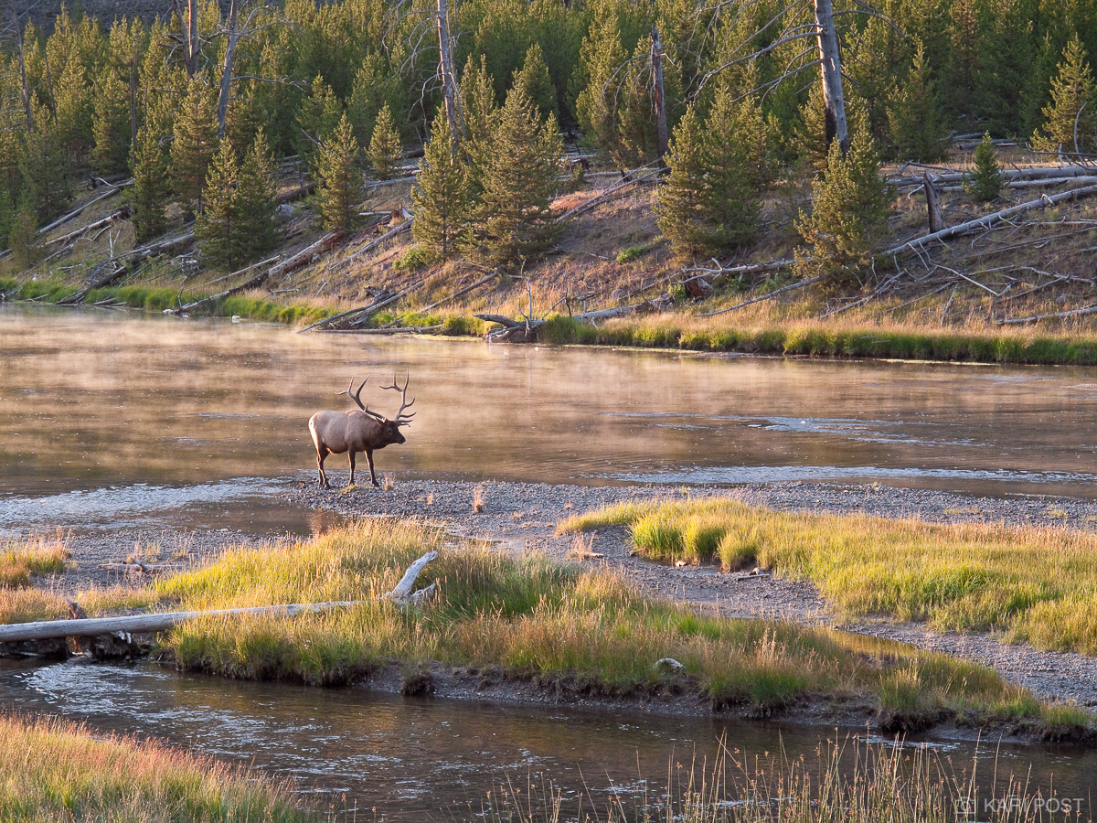 bull, elk, Madison River, mist, Yellowstone National Park, Wyoming, photo