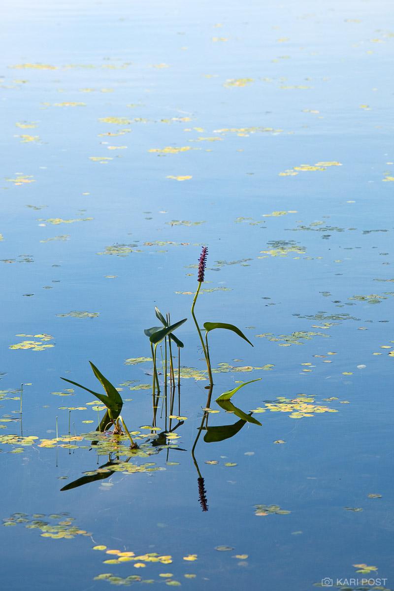 pickrelweed, Pontedaria cordata, aquatic plant, flower, gilmore pond, bradley draper memorial forest, bradley draper, ja, photo