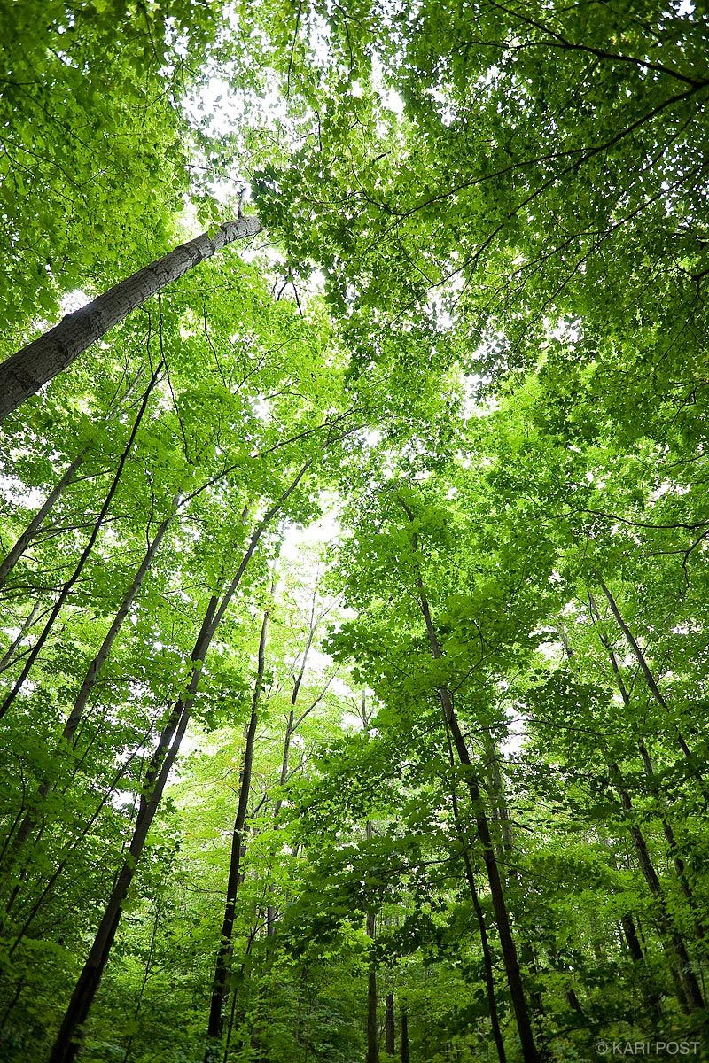 Green leaves fill the canopy of this deciduous forest in Manchester, Vermont.