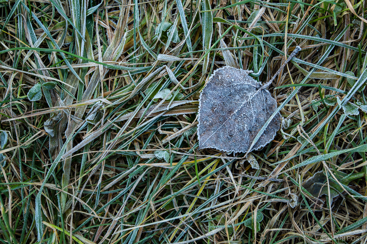 An aspen leaf and grass, covered in frost, on a cold winter morning.