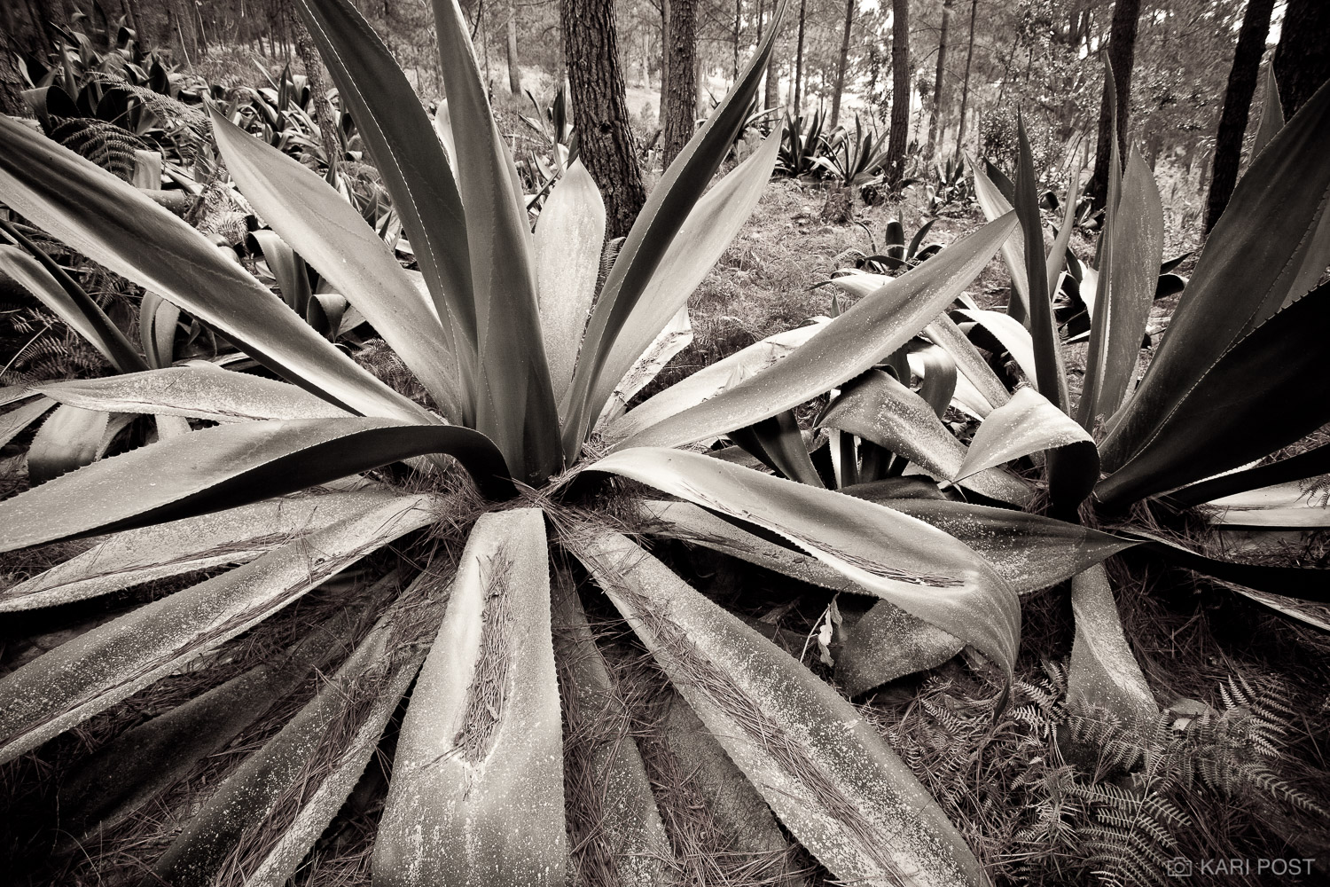 agave, Parc la Visite, La Visite National Park, Seguin, Seguin Foundation, Haiti, photo
