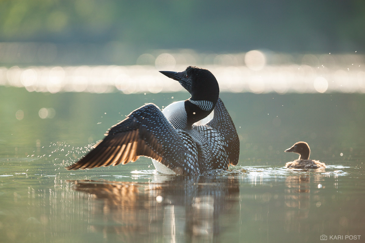 An adult Common Loon flaps its wings dry in the morning sun as its young chick looks on.