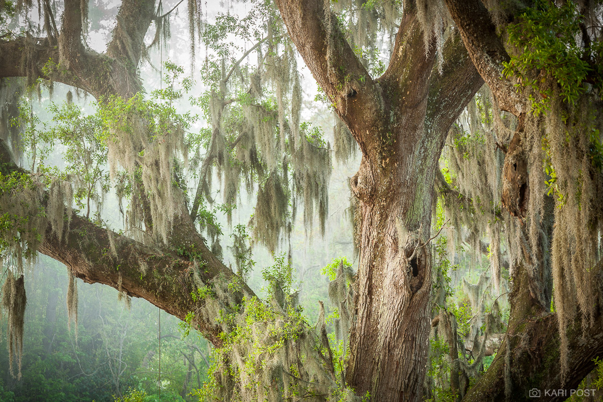 Magnolia Plantation, North America, SC, South Carolina, Southeast, Spanish moss, USA, United States, dreamscape, dreamy, live oak, moody, moss, plant, photo