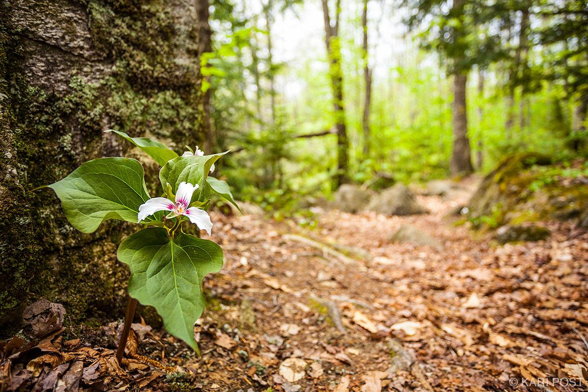 Painted Trillium line a foot trail in Marlow, New Hampshire.