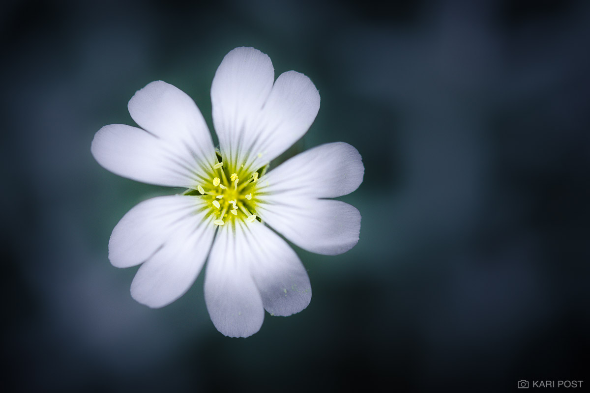 A close up photograph of a small white flower.