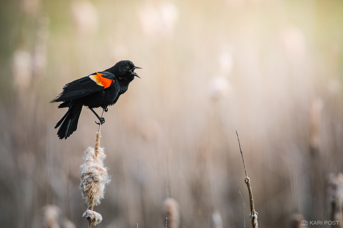 Agelaius phoeniceus, Keene, NH, New England, New Hampshire, North America, RWBB, Red-winged Blackbird, USA, United States, avian, bird, calling, male, passerine, perching bird, wildlife, photo