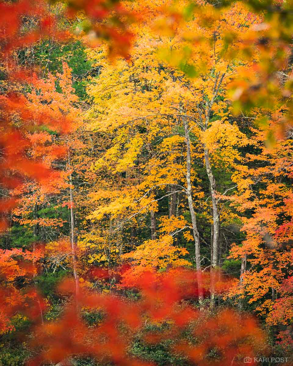 Yellow, gold, orange, and red maple leaves provide an explosion of color as fall foliage peaks in New Hampshire's Monadnock Region...