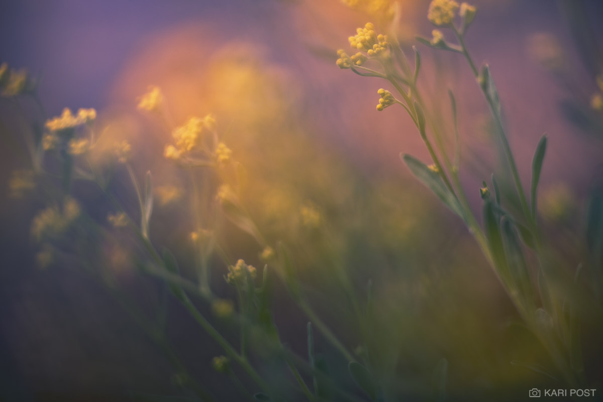 An abstract interpretation of yellow flowers among out of focus candy colored hues.